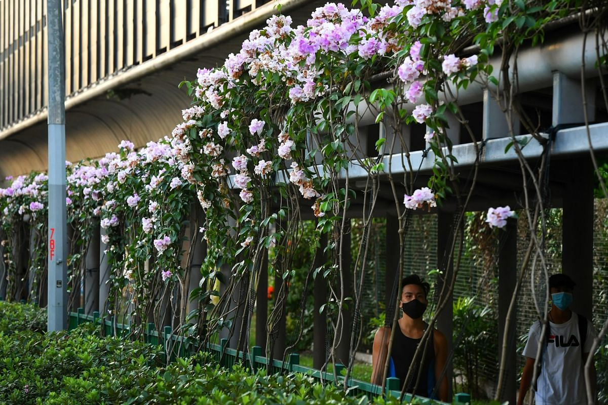 Garlic vines blooming outside Nanyang Polytechnic in Ang Mo Kio Avenue 8 last Thursday. These plants are woody climbers with odourless leaves that give off a distinct garlic smell only when crushed, thus earning them the common name garlic vine.