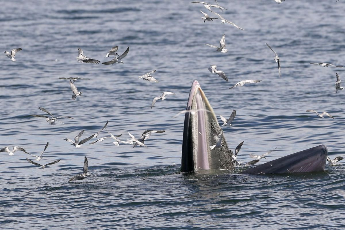 A Bryde's whale and seagulls feast on anchovies in the Gulf of Thailand on Sept 12, 2020. PHOTO: EPA-EFE