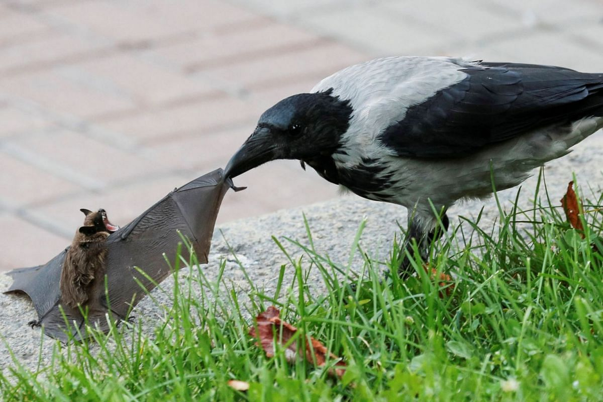 A crow attacks a bat in central Kyiv, Ukraine September 15, 2020. PHOTO: REUTERS
