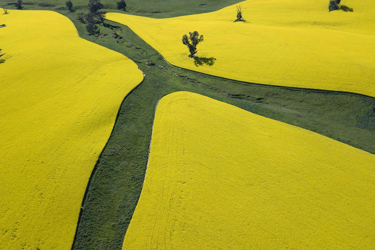 A photo released on Sept 22, 2020, shows an aerial view of a canola crop near Harden, New South Wales, on Sept 15, 2020. PHOTO: EPA-EFE