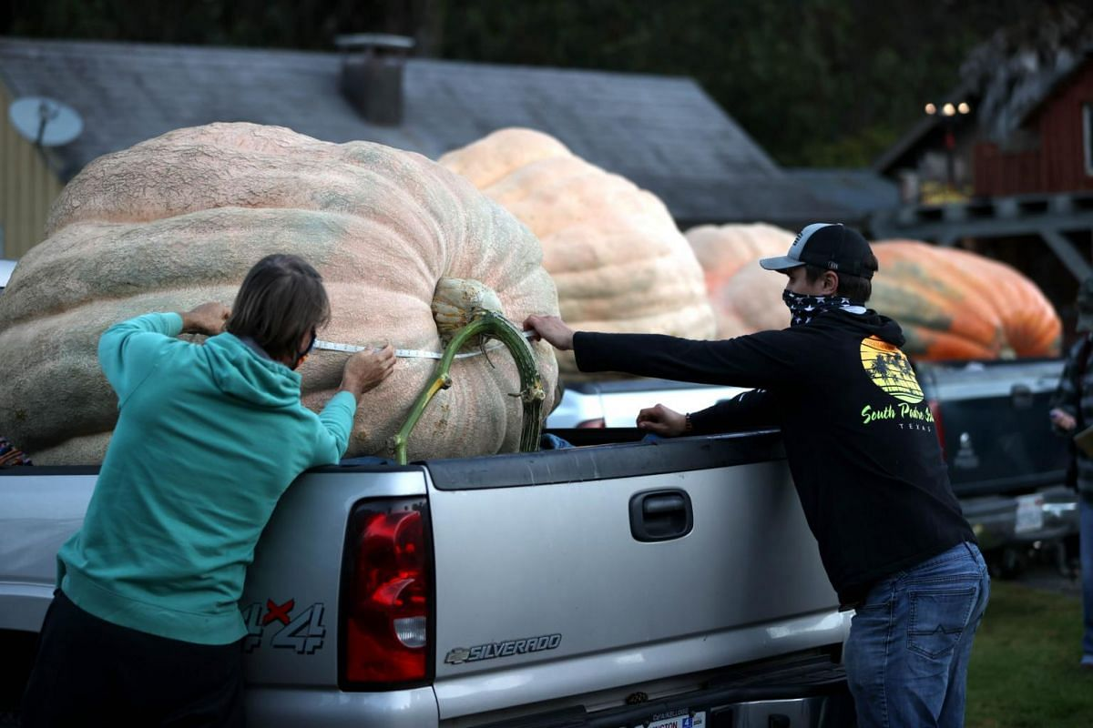 Judges measure a large pumpkin during the Safeway World Championship Pumpkin Weigh-Off in Half Moon Bay, California, on Oct 12, 2020.