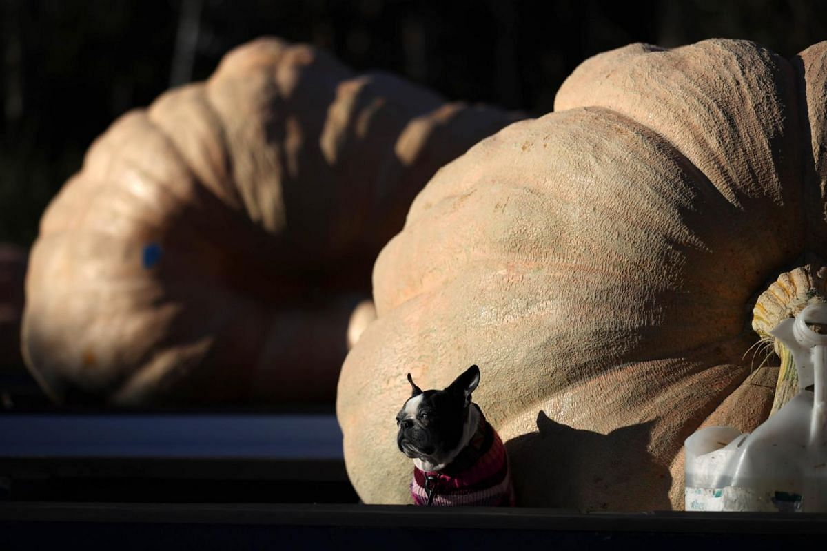 A dog sits in front of large pumpkins during the Safeway World Championship Pumpkin Weigh-Off in Half Moon Bay, California, on Oct 12, 2020.
