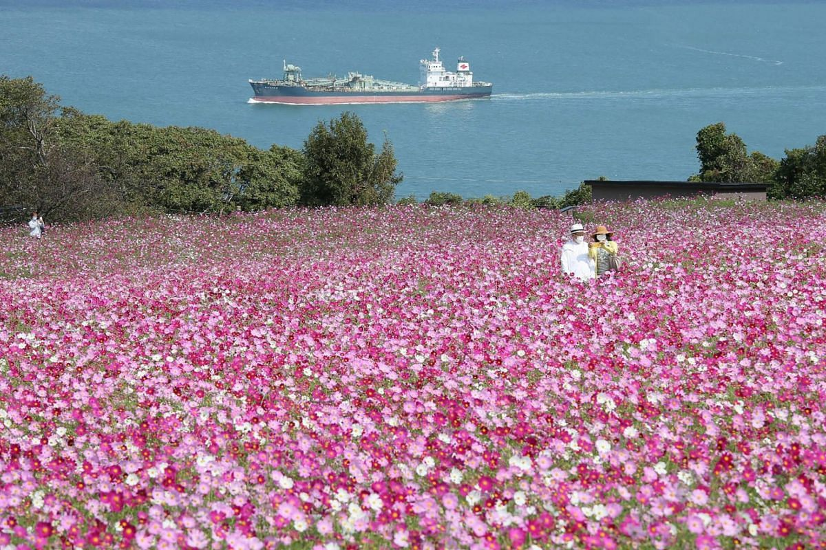 A couple take a selfie at Nokonoshima Island Park on Nokonoshima Island, in Hakata Bay, Fukuoka prefecture on October 15, 2020, as the early-blooming cosmos were in full bloom in the park's 10,000-square-foot slope covered in pink and purple.