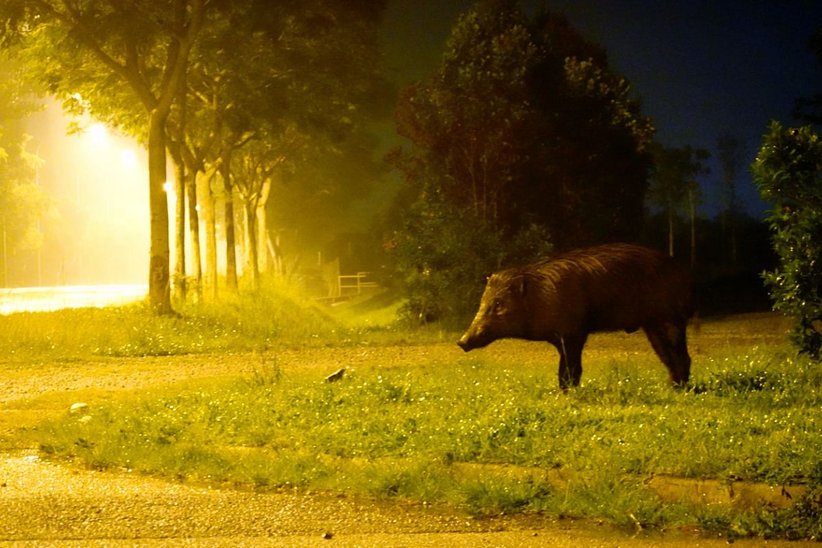 #ALONE: A wild boar stands at a field at Lorong Halus, looking for food on May 26, 2020. It moves towards the road, but is uncertain whether to step onto it even though the night is void of cars during the circuit breaker period. I was a little appre