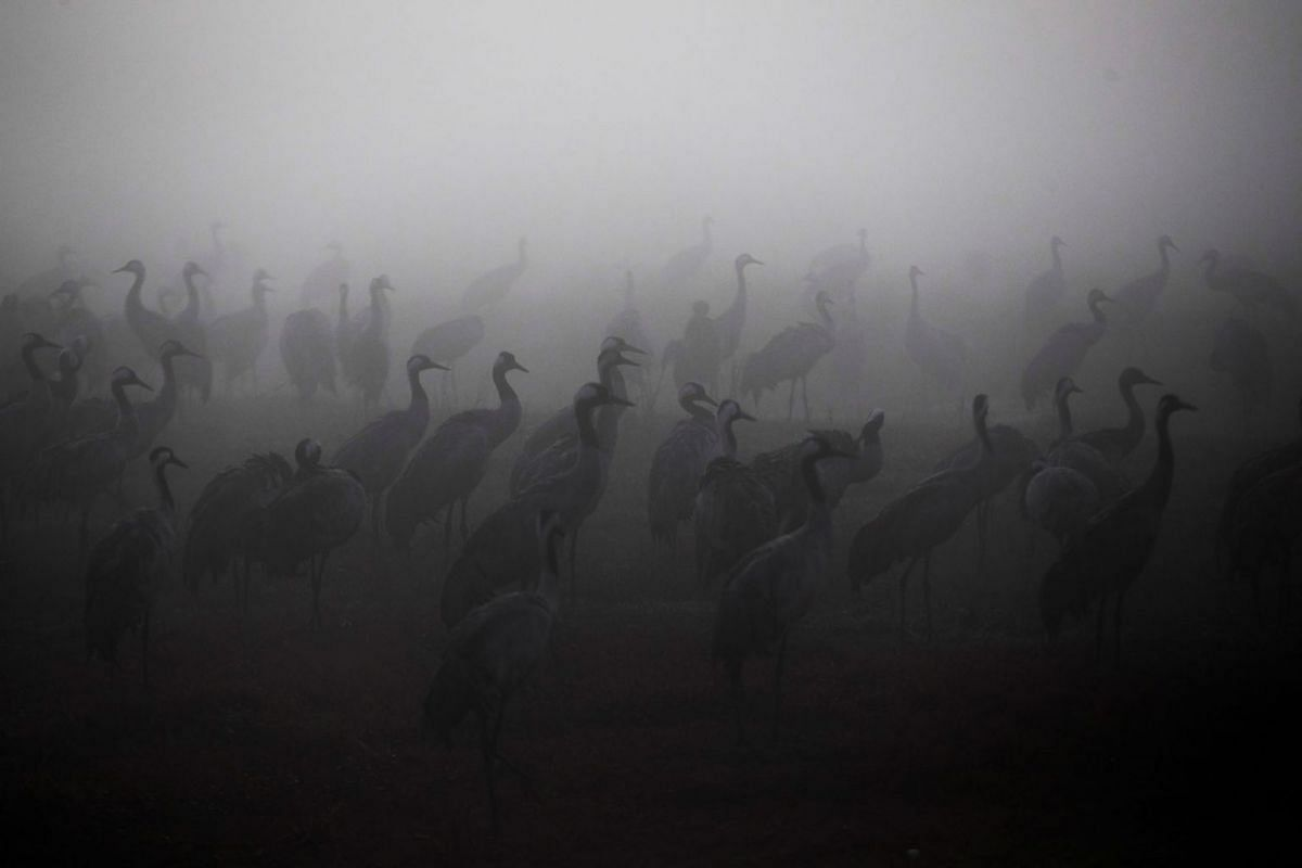 Cranes gather during the migration season on a foggy morning at Hula Nature Reserve, in northern Israel November 17, 2020. Picture taken November 17, 2020.