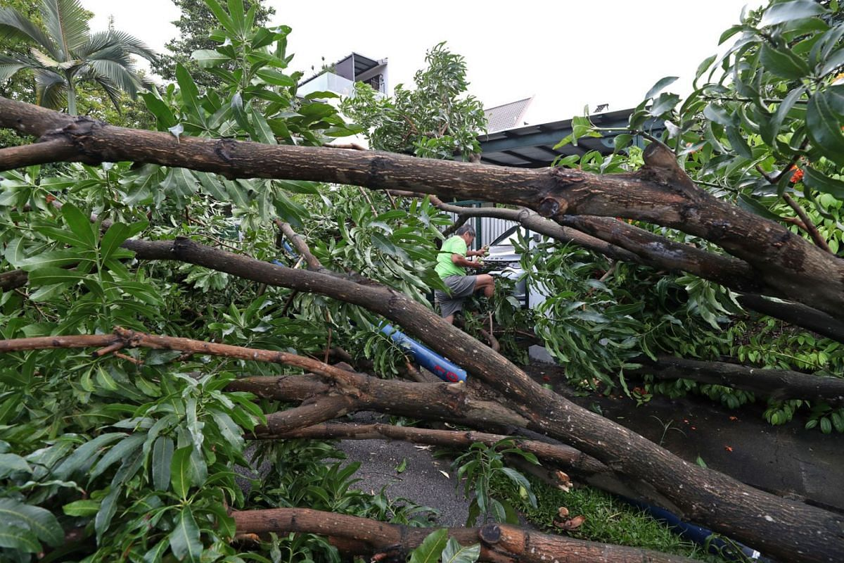 Residents picked mangoes from a fallen tree at Bloxhome Drive in Serangoon Gardens on Jan 12, 2021.