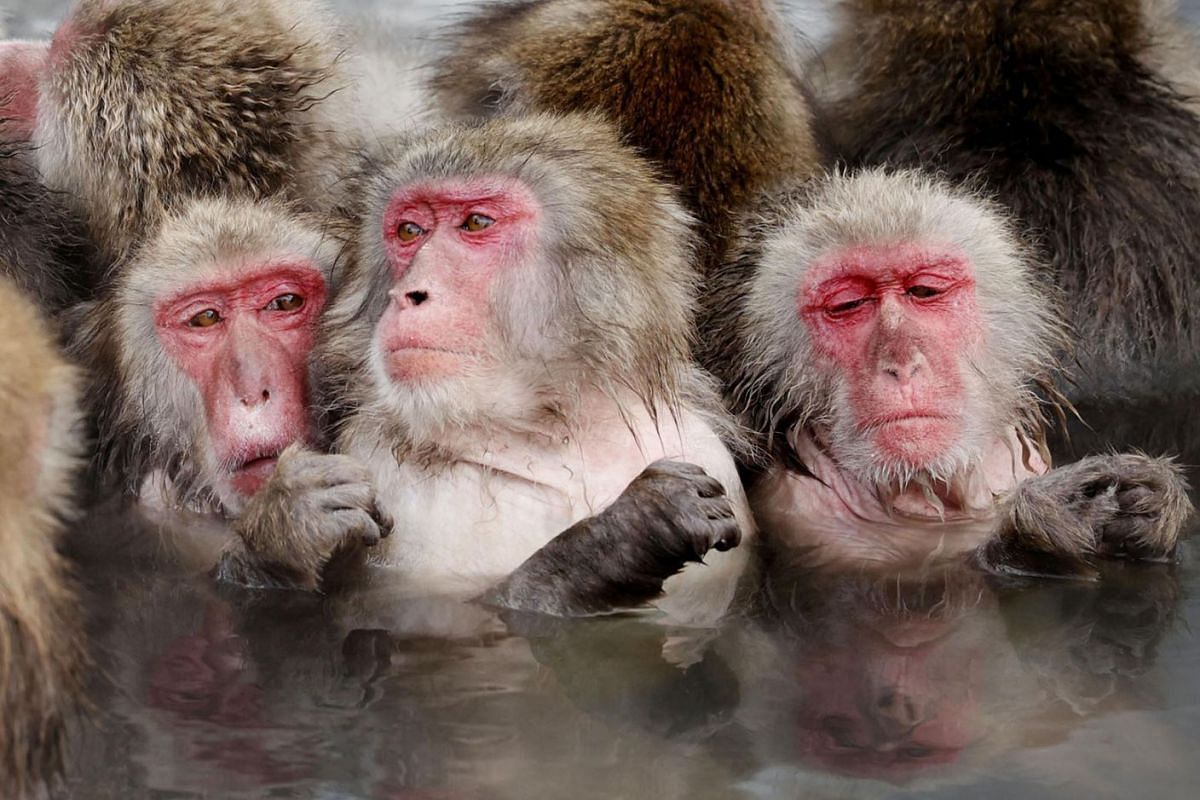 Japanese macaques soak in a hot spring at the Hakodate Tropical Botanical Garden in Hakodate on Japan's northernmost main island of Hokkaido on Jan 12, 2021, in this photo taken by Kyodo.