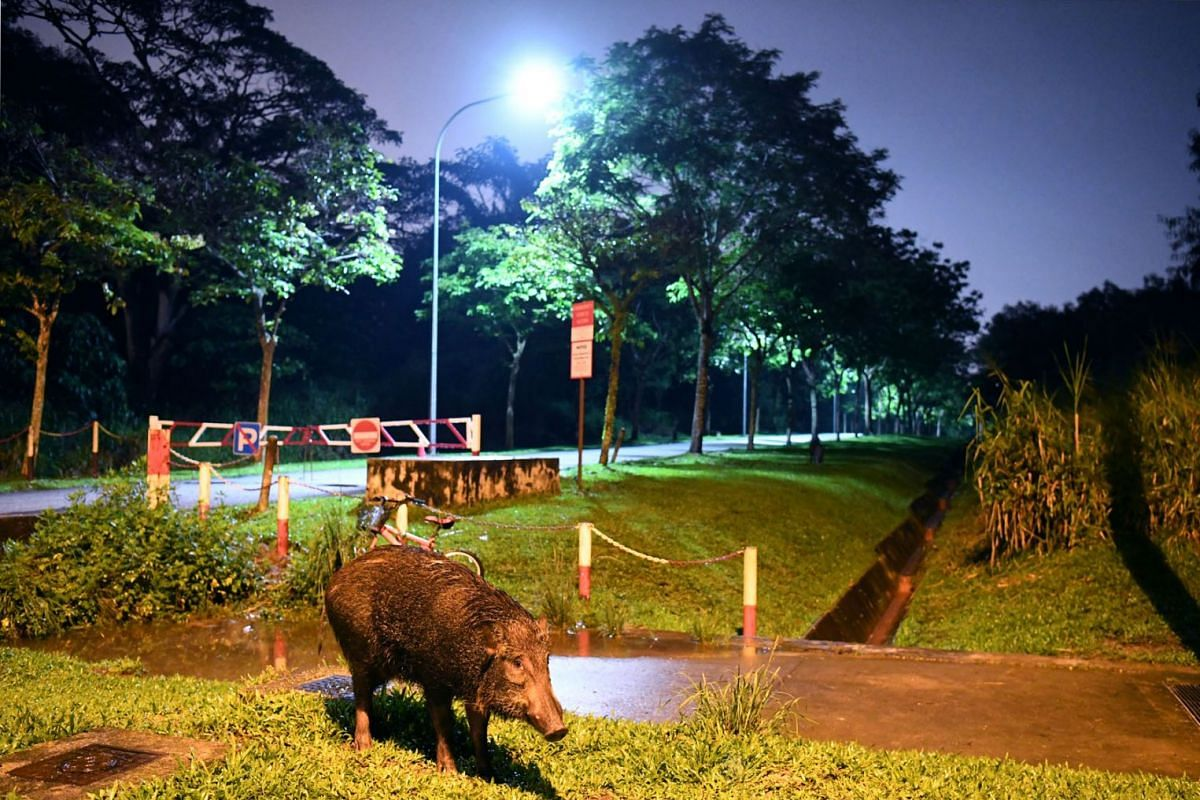 A wild boar spotted at Lorong Halus on on Jan 12, 2021. NParks says feeding and irresponsible discarding of food may lead the animals to associate humans with food. This raises the likelihood of them seeking humans and may see them wandering in urban