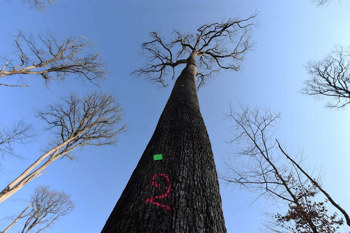 This picture taken on March 8, 2021 shows a 230 years old Sessile oak tree selected the week before to be used in the reconstruction of Notre-Dame de Paris Cathedral in the Foret de Berce, near Jupilles.