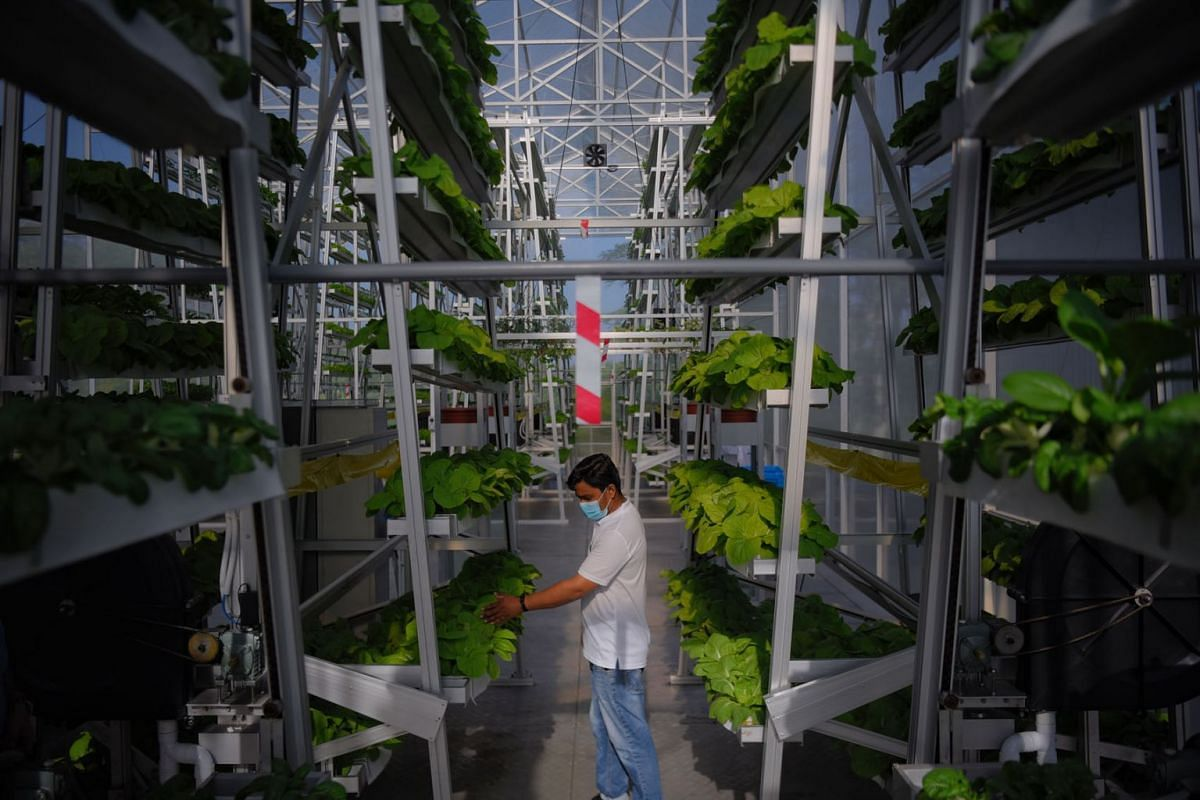 Sky Greens' vertical vegetable farm in a greenhouse in Lim Chu Kang on March 16, 2021. Sky Urban Solutions, the firm that runs the farm, launched a new micro-farm solution that combines aquaculture, vertical vegetable farming and freight container