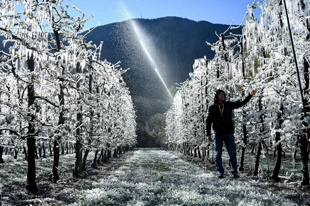 A tree grower walks past apple trees which are covered with a layer of ice, after being artificially watered to protect from the frost, at their orchard in La Palazzetta, a village located some 100km from Milan, on April 8, 2021.