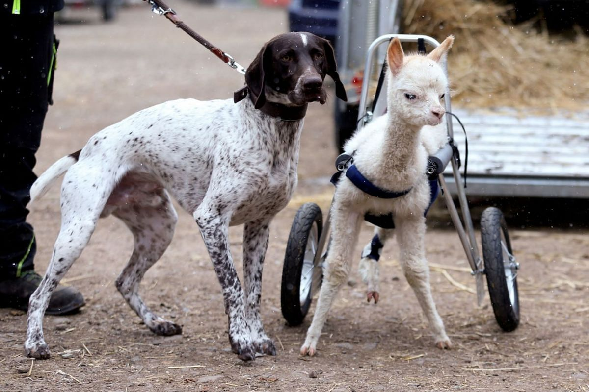 Baby alpaca Marie Hope, who has an amputated leg, and dog Erco are seen at a farm in Freisen, Germany, on April 7, 2021. The alpaca can now walk again with the aid of a rollator, a special harness with wheels.