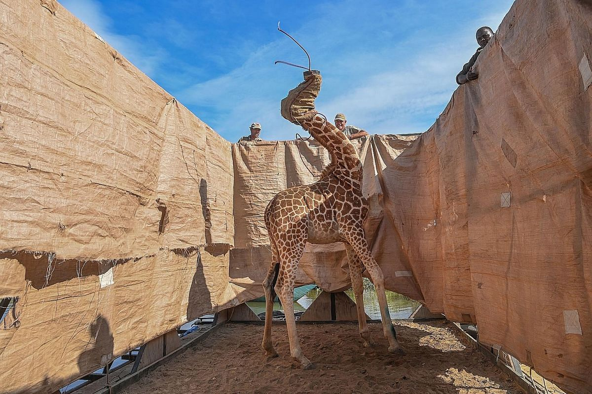 NATURE - FIRST PRIZE, SINGLES A Rothschild's giraffe (Giraffa camelopardalis rothschildi) being transported to safety in a custom-built barge from a flooded Longicharo Island, Lake Baringo, in western Kenya, on Dec 3. SPORTS - FIRST PRIZE, SINGLES Ge