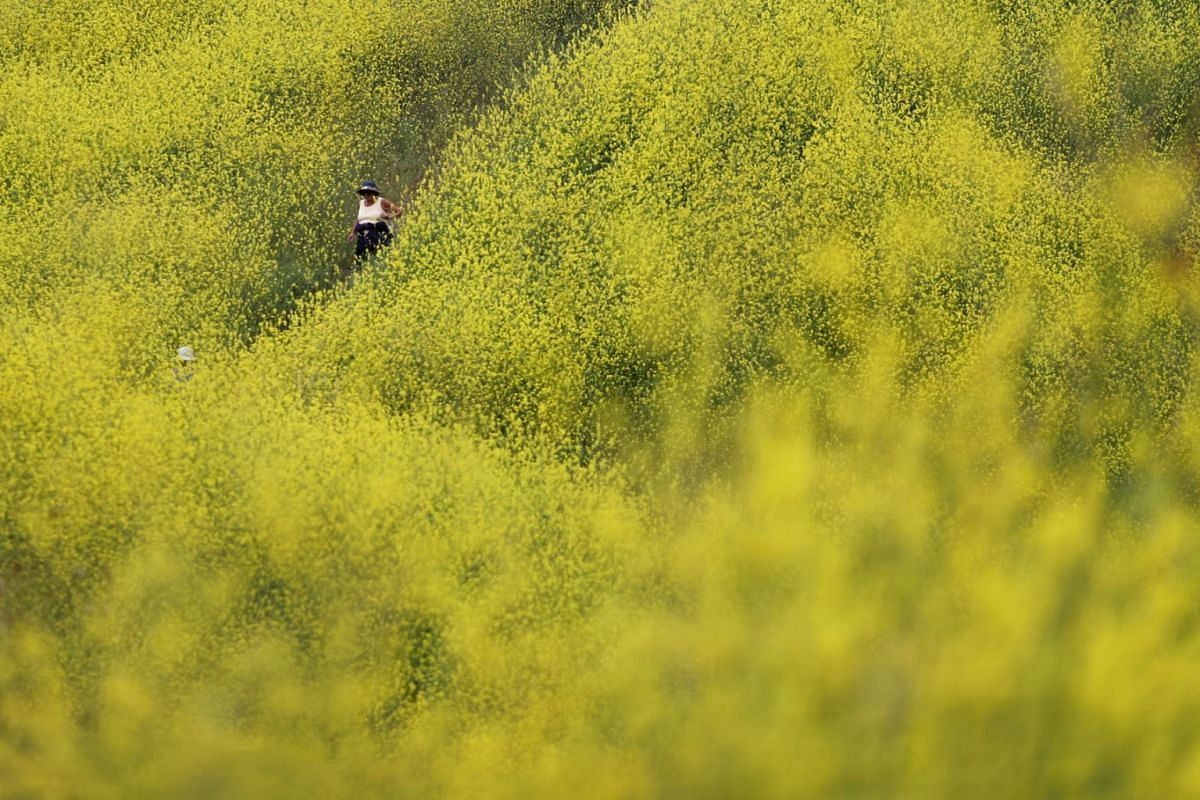 People walk through mustard plants in the burn zone of Chino Hills State Park, as the coronavirus disease pandemic continues, in Chino Hills, California, U.S., April 21, 2021.