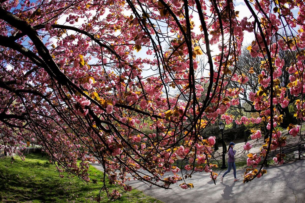 A woman jogs a path past blooming cherry trees on Earth Day in Manhattan's Riverside Park in New York City, New York, U.S., April 22, 2021.