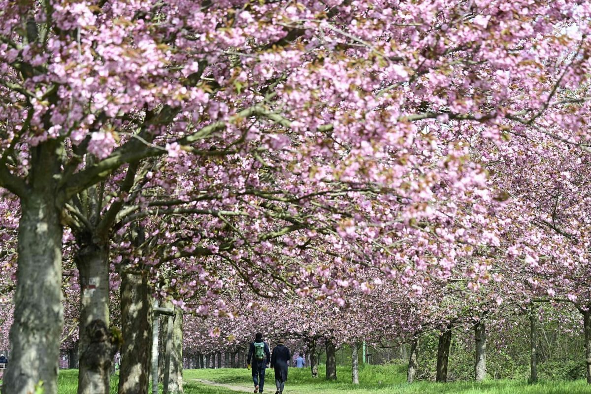 People walk along bloomimg cherry trees at the former Berlin wall in Berlin's Teltow district on a cloudy May 6, 2021.