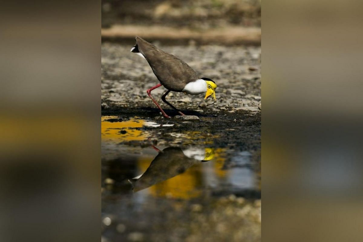 """MASKED LAPWING, NEAR LOWER SELETAR PUMPING STATION: This bird is colloquially known to the bird-watching community as the """"durian bird"""". It is distinguished by its drooping wattle across its forehead and bill. It is also known as a Spur-winged Pl"""