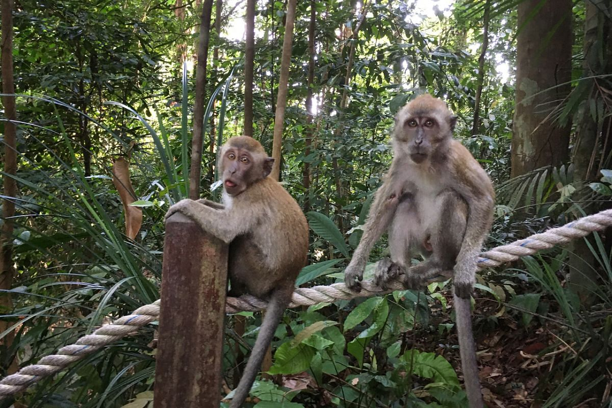 A pair of long-tailed macaques looking out for trekkers at Bukit Timah Hill on May 25, 2021.