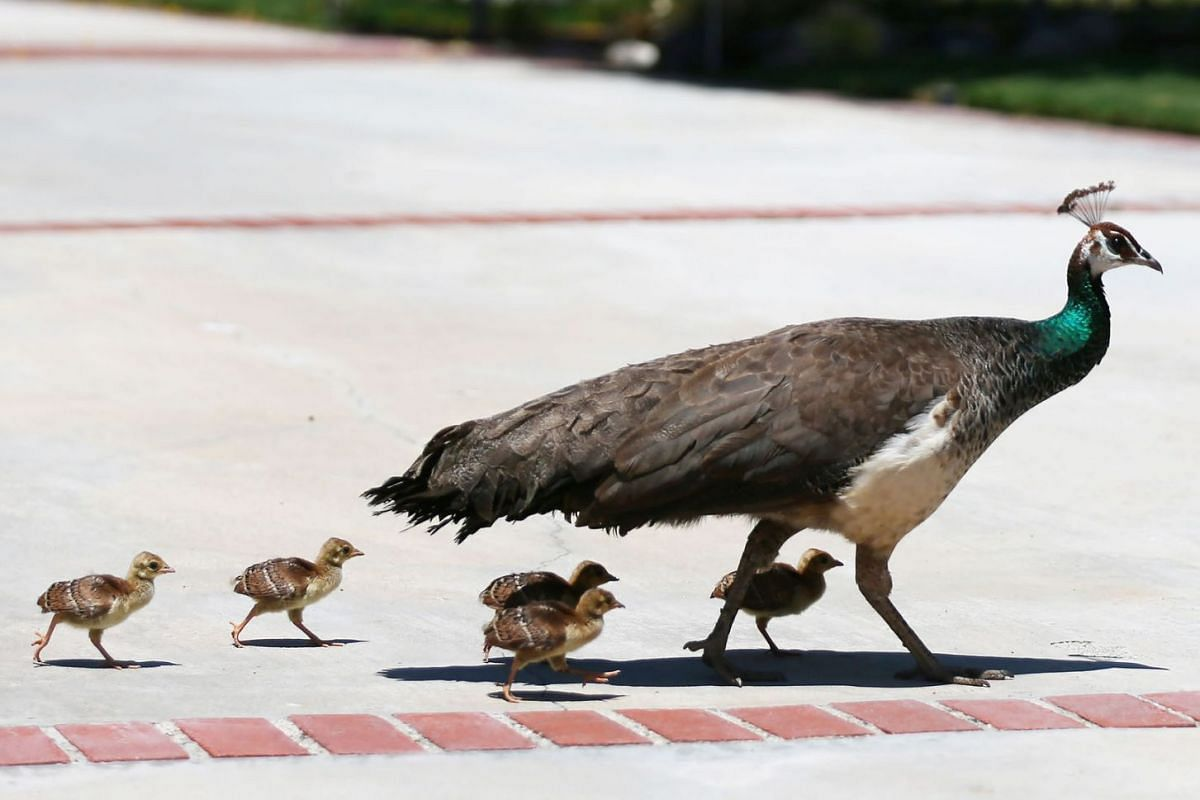 A peafowl crosses a resident's driveway with peachicks on June 8, 2021 in Arcadia, California.