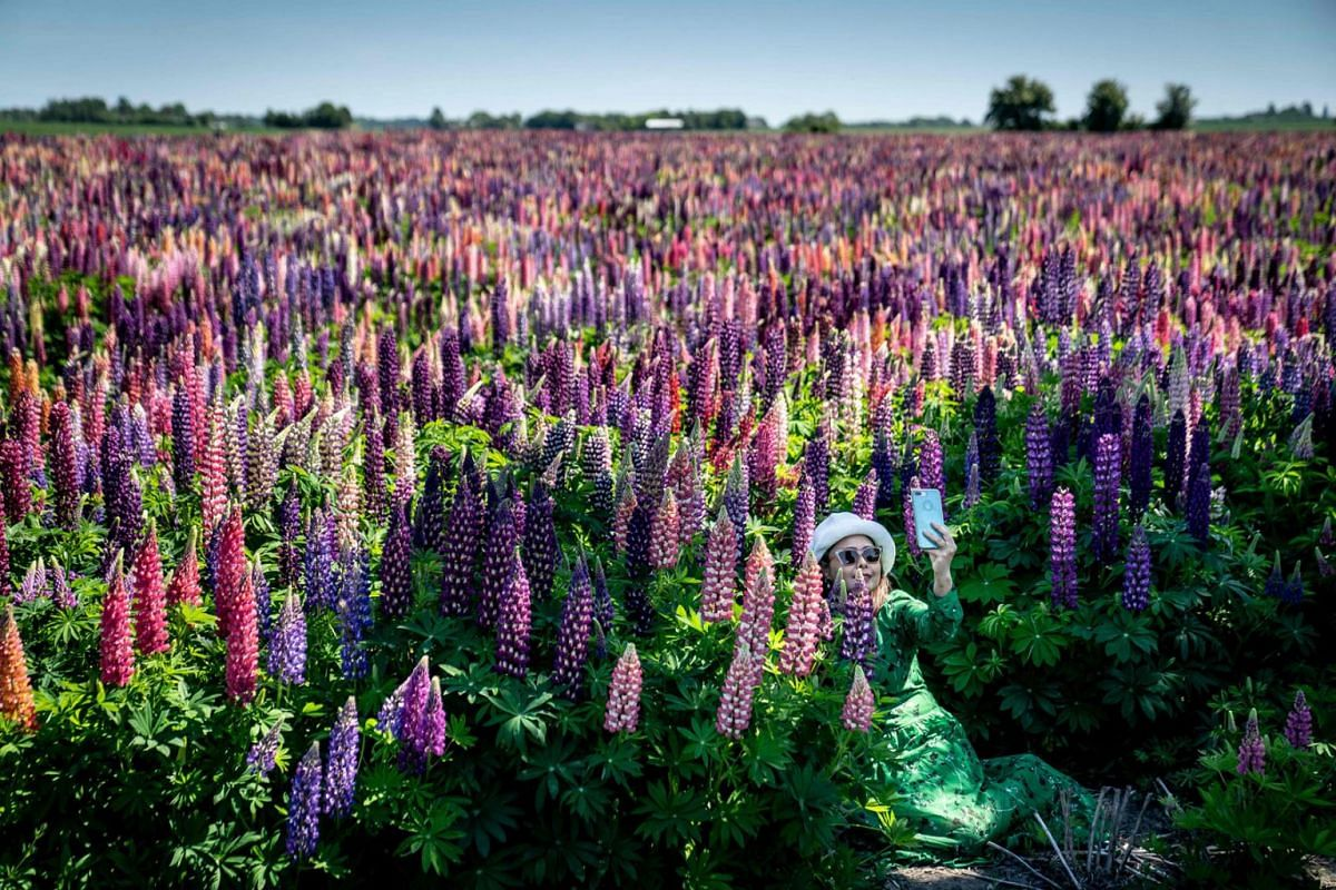 A woman takes a selfie at a lupine field in full bloom near Sollested on Lolland island in Denmark on June 8, 2021.