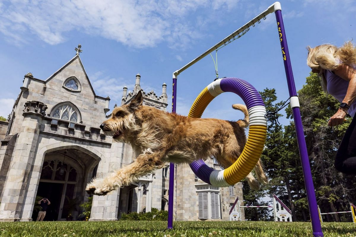 A Berger Picard named Chester his handler Christina Potter demonstrate the agility course to be used during competition at the 145th Annual Westminster Kennel Club Dog during a press preview on the grounds of the Lyndhurst Estate, a historic mansion,