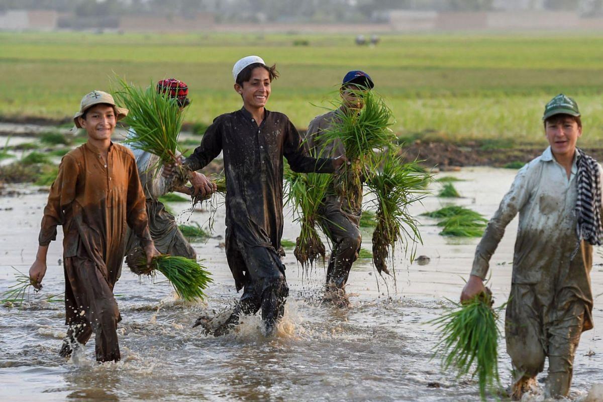 Youths plant rice seedlings in a paddy field near Mardan on June 9, 2021.