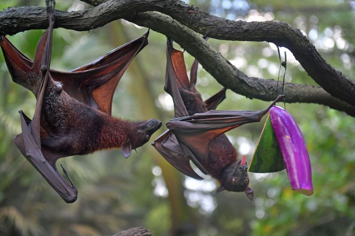 Malayan flying foxes at the Singapore Zoo on June 15, 2021.
