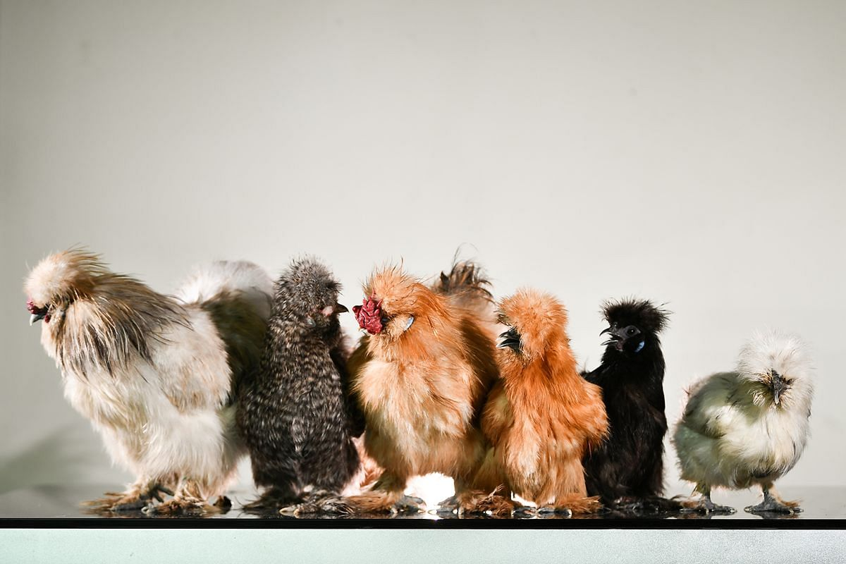 These six silkies belong to housewife Anne Ang, who is drawn to their cute, docile nature.