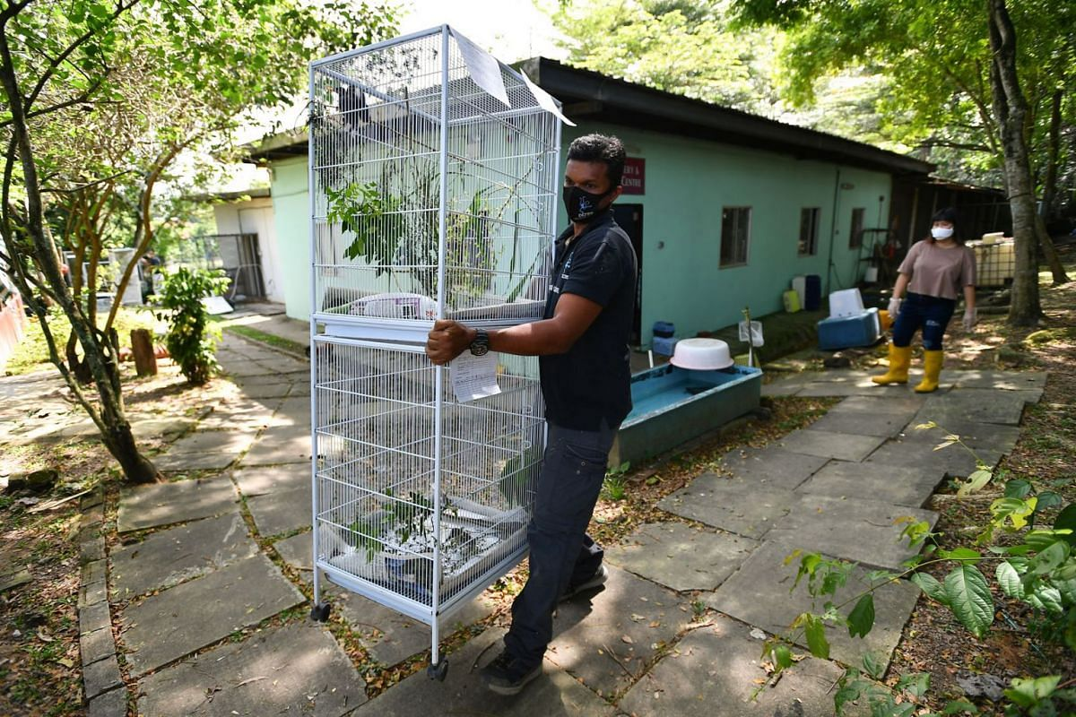 Mr Kalai Vanan, co-chief executive of the Animal Concerns Research and Education Society (Acres), moving two cages housing rescued birds on July 24, 2021, at the group's Wildlife Rescue Centre in Sungei Tengah.