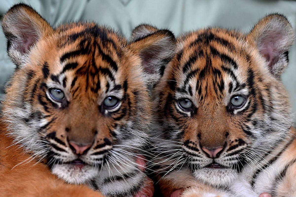 Sumatran tiger cubs Isyana and Aura are pictured during International Tiger Day celebrations at the Taman Safari Prigen in Pasuruan near Surabaya, East Java province, Indonesia, July 29, 2021.