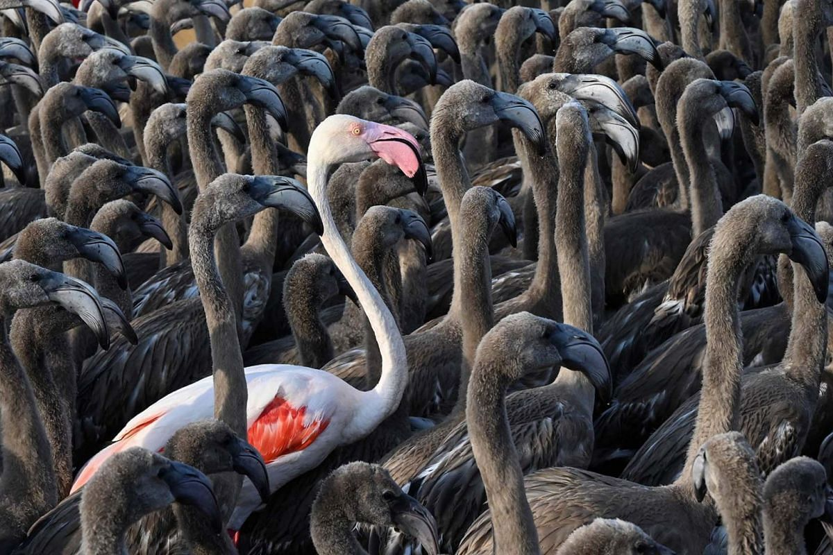 A pink flamingo stands among flamingos chicks in a pen in Aigues-Mortes, near Montpellier, southern France, on Aug 3, 2021, during the annual tagging operation to monitor the evolution of the species.