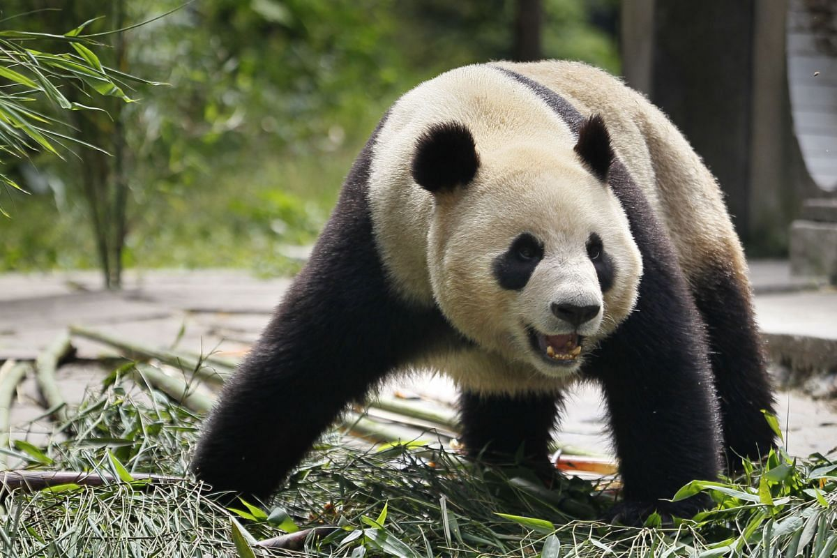 Four-year-old female giant panda Jia Jia in her sanctuary in Ya'an Bifeng Gorge, Sichuan province, on May 16, 2012.