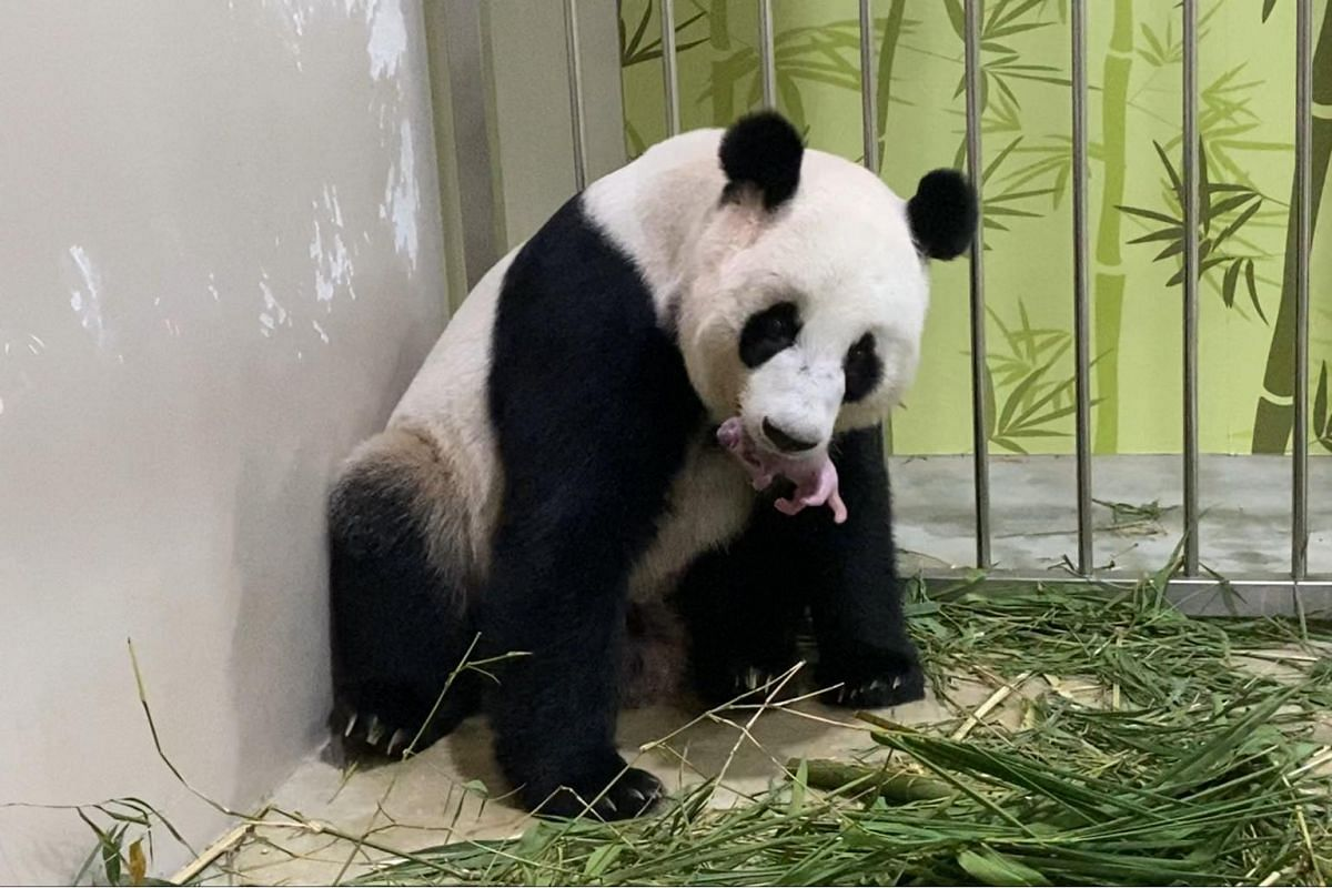 Despite being a first-time mum, Jia Jia's maternal instincts kicked in as soon as the cub was born, and she picked up her newborn with care.