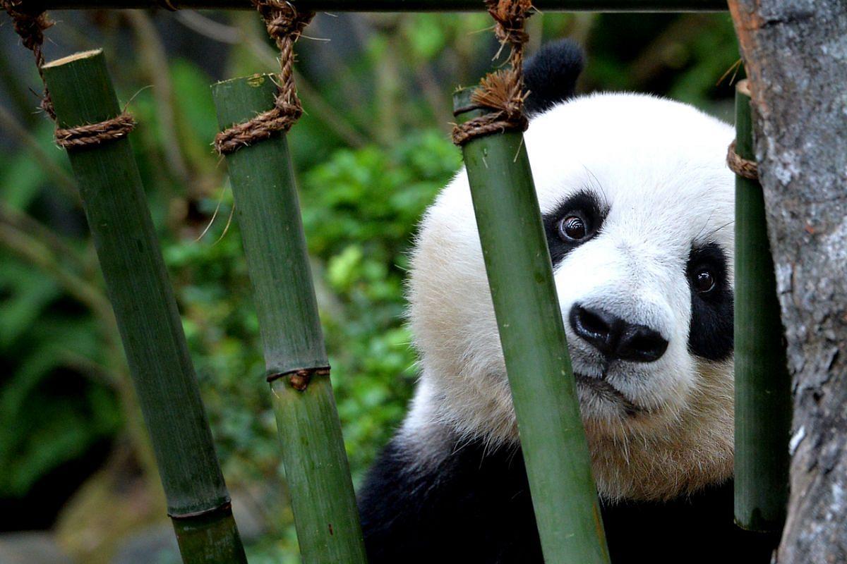 Giant panda Jia Jia in 2013.