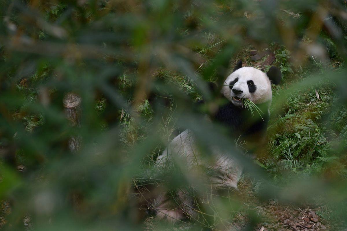 Panda Jia Jia tucking into bamboo at her enclosure at River Safari on Nov 7, 2012.