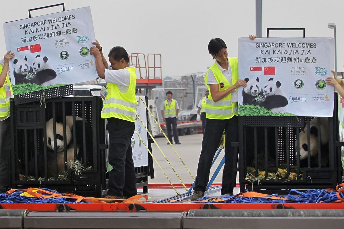 The unveiling of pandas Kai Kai (left) and Jia Jia (right) on the tarmac at Changi Airport on Sept 6, 2012, after their arrival from Chengdu on a Singapore Airlines-sponsored jet.