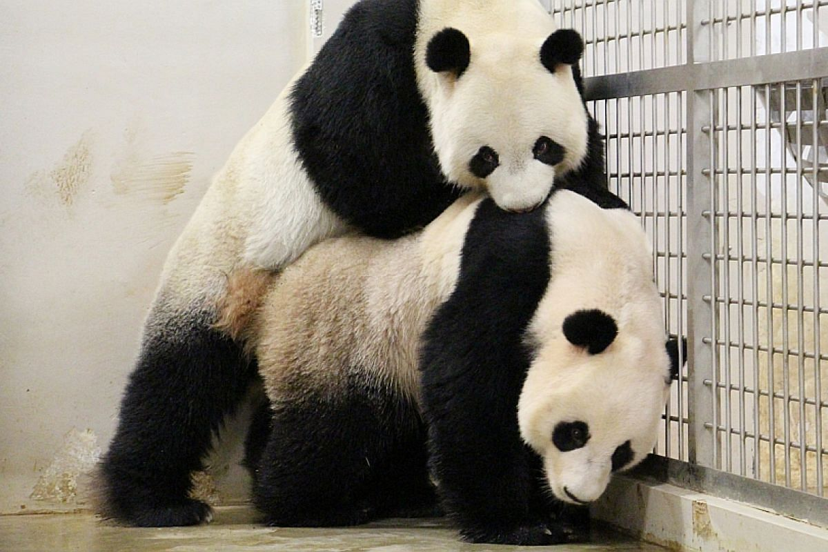 Kai Kai and Jia Jia, pandas at River Safari, attempted to mate for the first time in 2015.