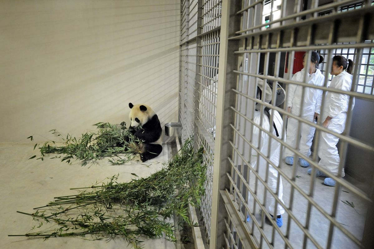 Panda Kai Kai in his air-conditioned den on Sept 6, 2012, tucking into bamboo flown in from China under the watchful eyes of River Safari keepers.