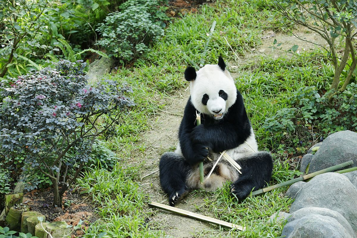 Kai Kai enjoying bamboo in his climate-controlled habitat, the Giant Panda Forest at River Safari, after completing his one-month quarantine on Oct 6, 2012.