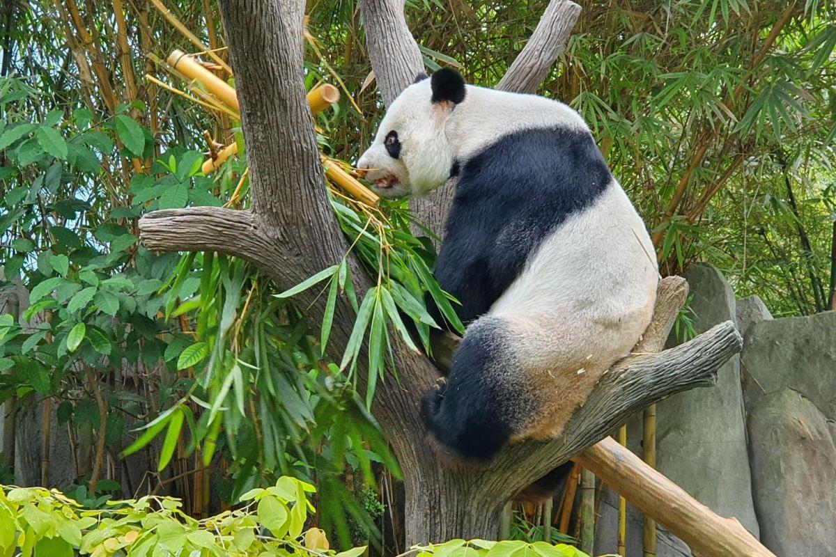 Male panda Kai Kai enjoying a meal of bamboo in River Safari's Giant Panda Forest while Jia Jia bonds with their newborn cub in an off-exhibit den.