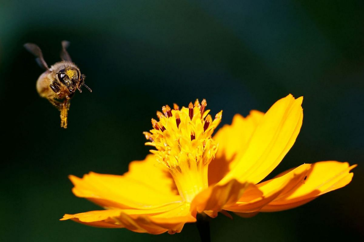 A bee flies over a cosmos flower at a park in Seoul, South Korea, September 13, 2021.