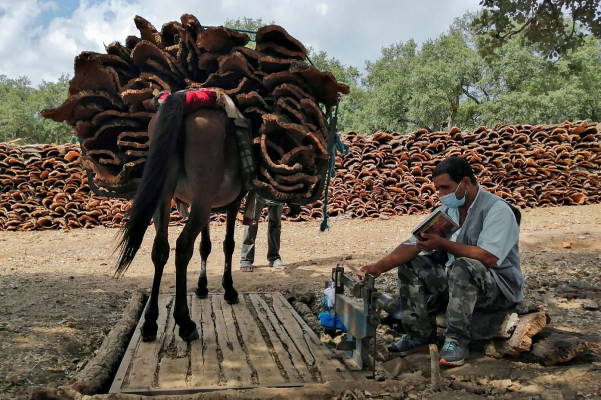 A photo released on September 15, 2021, shows a scale operator attempting to weigh a donkey carrying harvested cork in Ain Draham in Jendouba, Tunisia, September 10, 2021.