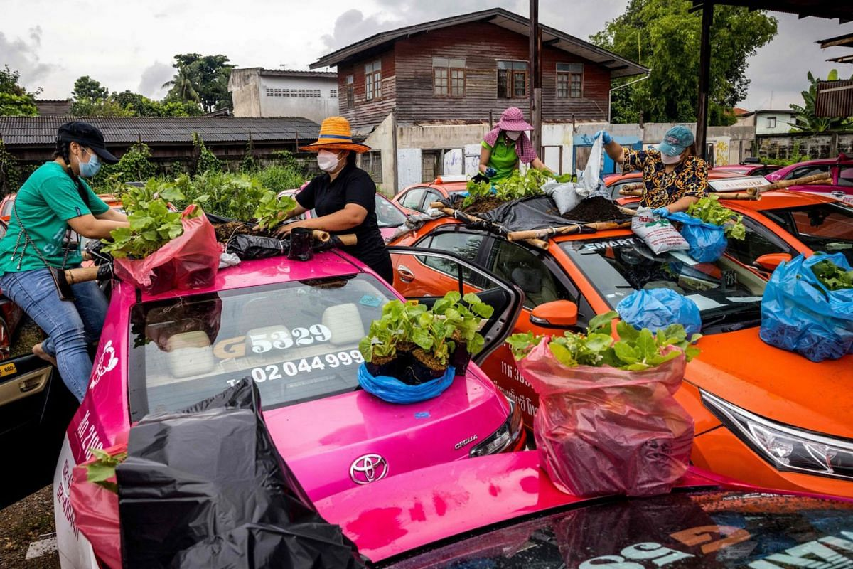 Staff members of a taxi rental garage plant vegetables on the roofs of the firm's many vehicles currently out of service due to the downturn in business as a result of the Covid-19 coronavirus pandemic in Bangkok on September 15, 2021.