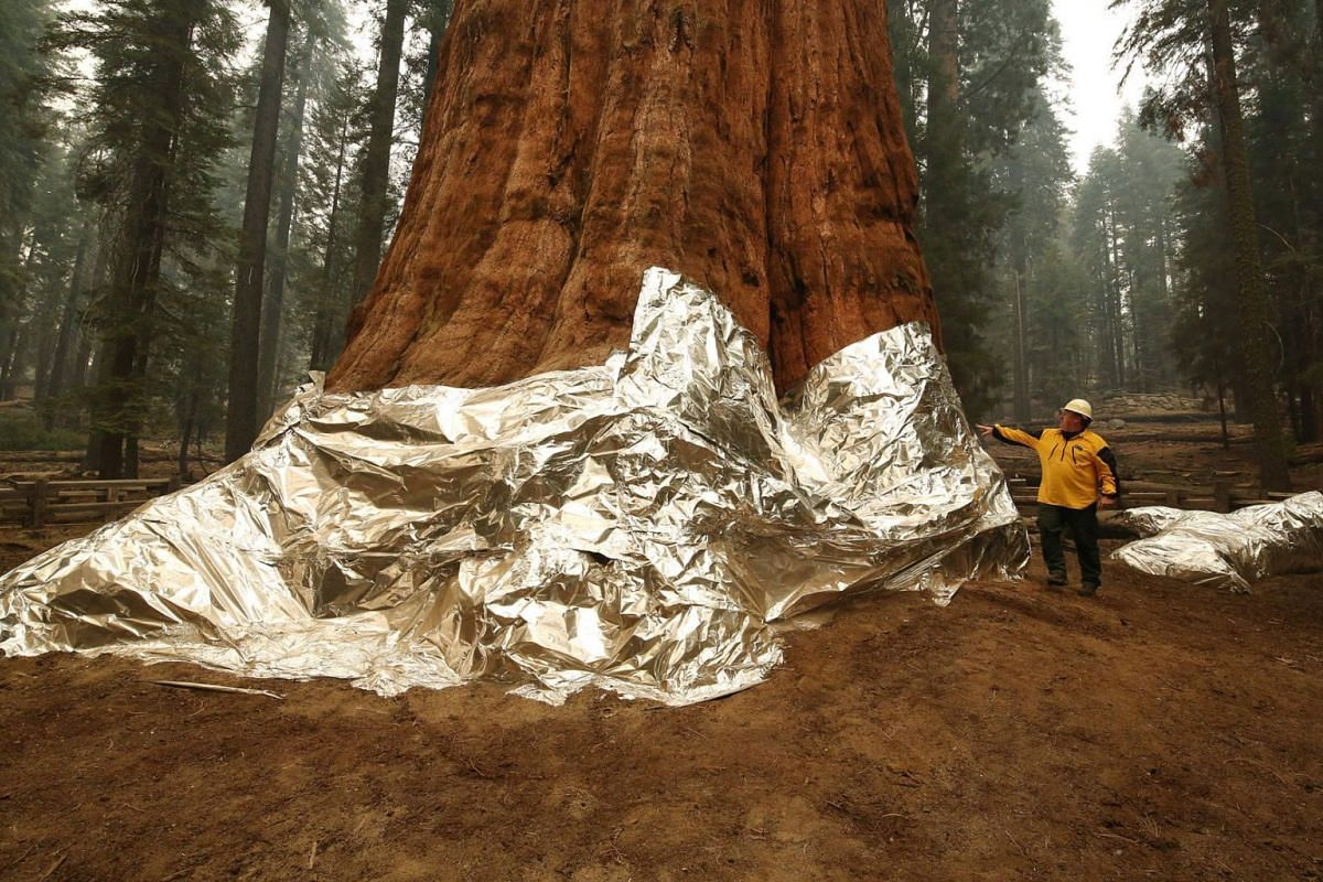 Operations Section Chief, Jon Wallace looks over General Sherman where the historic tree was protected by structure wrap from fires along with the Four Guardsmen at Sequoia National Park, California, September 22, 2021.