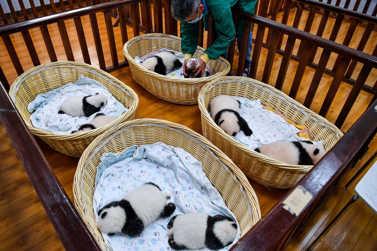 Panda cubs born this year rest at a breeding room of Shenshuping giant panda base in Wolong National Nature Reserve, Sichuan province, China, September 22, 2021.