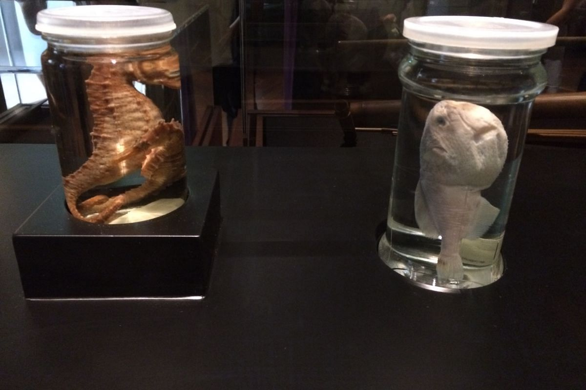 Specimens borrowed from the Lee Kong Chian Museum of Natural History include these seahorse and yellow pufferfish specimens,