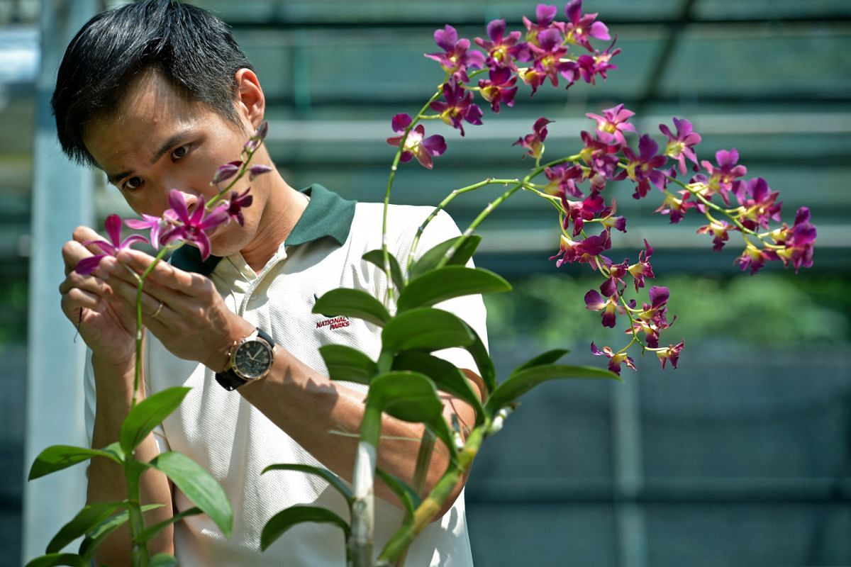 National Orchid Garden assistant director Simon Tan (above) cross-pollinating orchids. Successfully germinated orchid seedlings are placed in flasks (left).