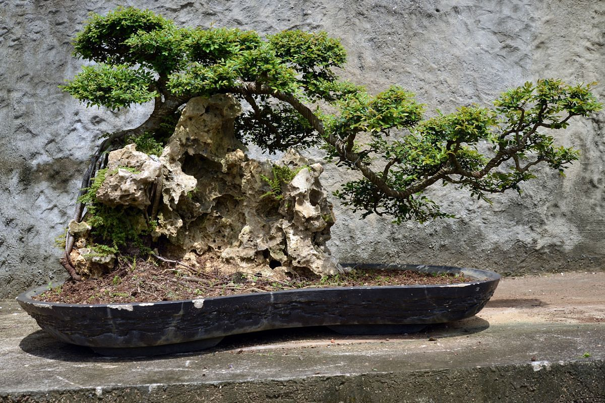 A 50-year-old wrightia bonsai (above) from Bonsai Gallery. A Chinese elm bonsai (left) growing on a rock from Chengtai Nursery.