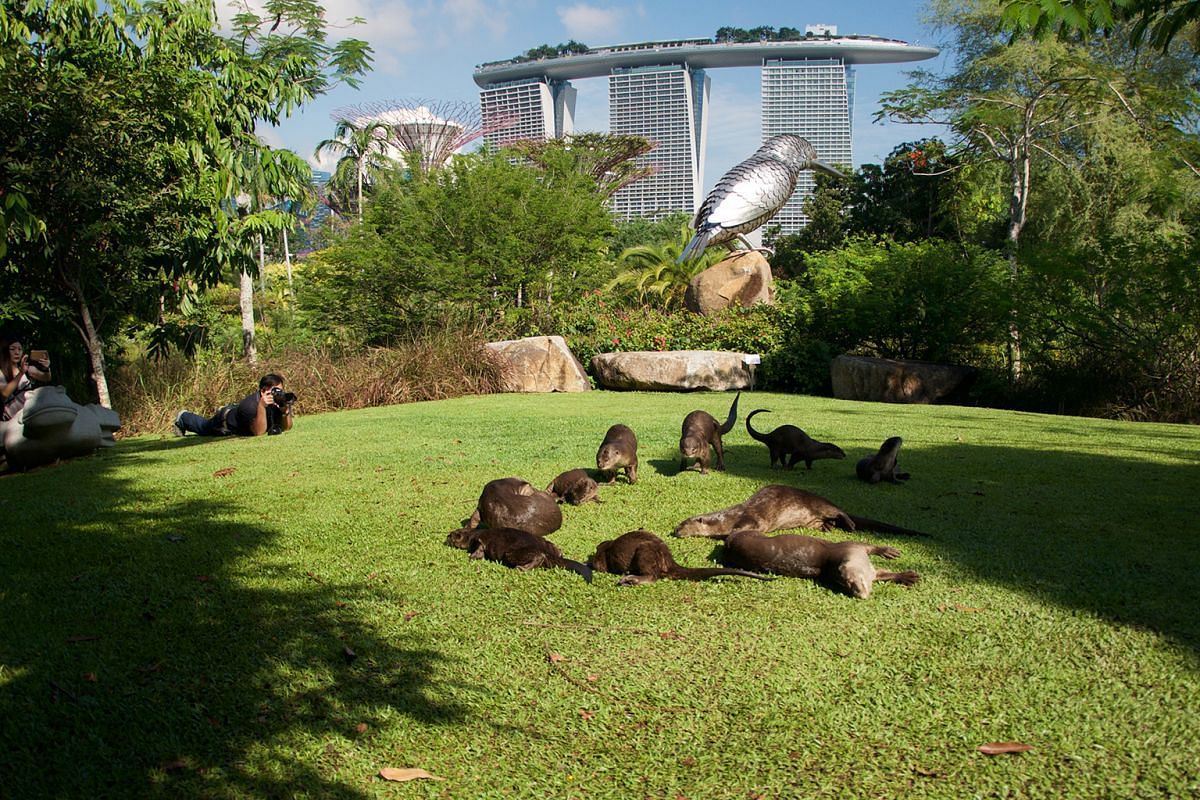 Otter enthusiasts photographing a family in the Marina Bay area. Below: Mr Alvin Tan waiting along the Singapore River to take photos of the animals.