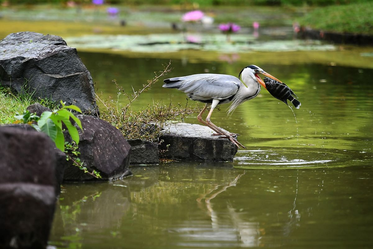 A grey heron trying to eat a zebra tilapia at the Japanese Garden on Nov 29 last year. The fish was too big and the bird gave up after struggling for about 15 minutes. The grey heron is the most common large resident bird here. The species is widespr
